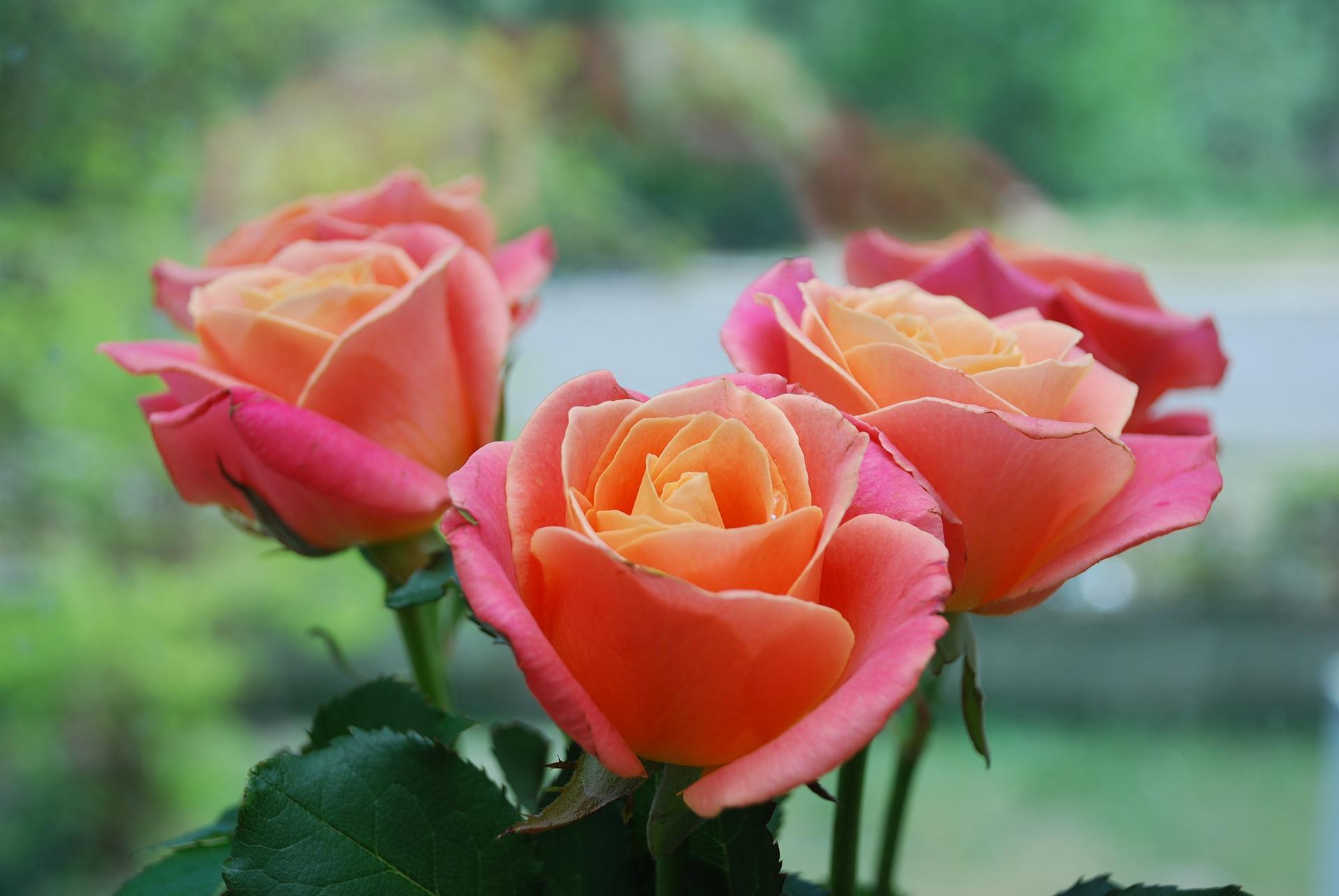 Photo of Museo Civico di Casale, un sabato pomeriggio interamente dedicato alle rose