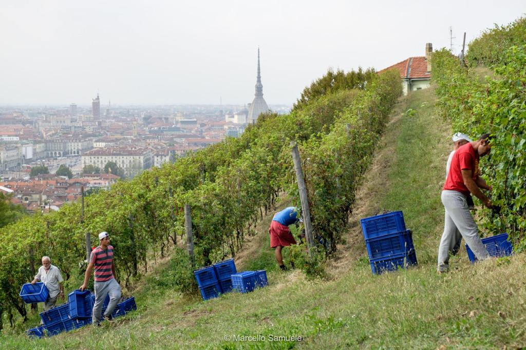Photo of Torino, è partita oggi la vendemmia al Vigneto Reale di Villa della Regina