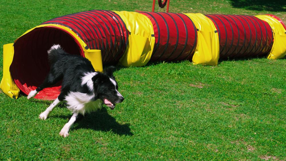 Photo of Agility dog, l'attività sportiva che migliora la relazione tra cane e padrone
