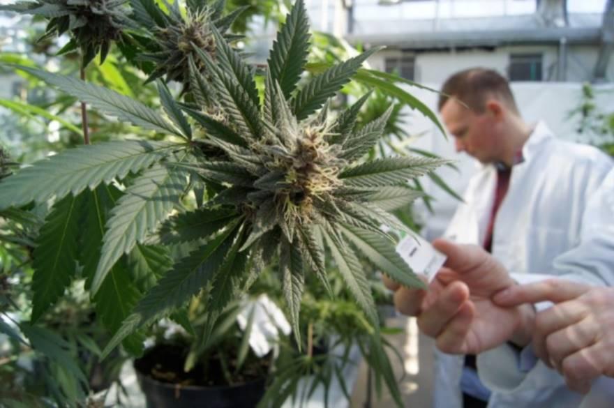 Photo of Studio clinico sulla sicurezza dei trattamenti con cannabis terapeutica: Piemonte in prima fila