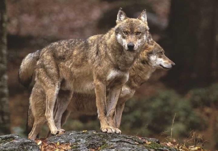 Photo of Il ritorno del lupo come elemento di equilibrio del territorio: gli avvistamenti