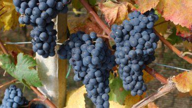 Photo of Pelaverga delle colline saluzzesi, il vino che piaceva a papa Giulio II