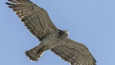 Photo of Lo stato di salute dell'ambiente monitorato attraverso il volo dei rapaci