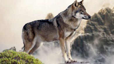 Photo of Il ritorno del lupo nel territorio alpino: se ne parla stasera a Piossasco