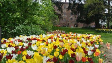 Photo of Messer Tulipano, 417 mila visite virtuali accompagnati da Consolata Pralormo