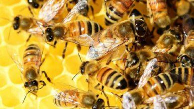 Photo of 20 maggio, da Slow Food una campagna per salvare le api