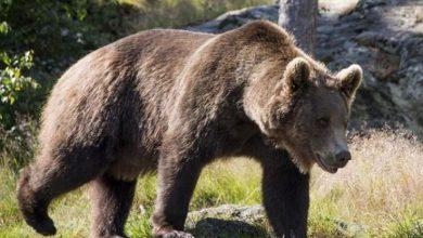 Photo of Avvistato un orso nella notte alle porte di Domodossola