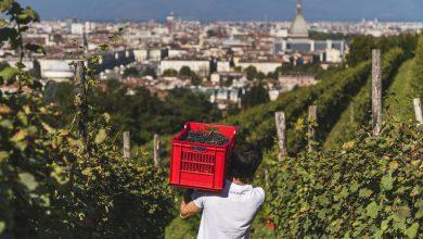 Photo of Ottima annata per le uve Freisa alla Vigna della Regina