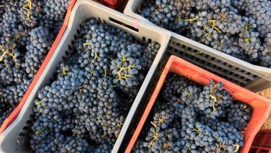 Photo of Produzione di vino in calo, ma in Piemonte l'annata è a  4 stelle