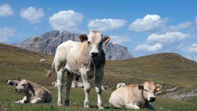 """Photo of Breve storia della """"razza bovina piemontese"""", vanto della nostra zootecnia"""