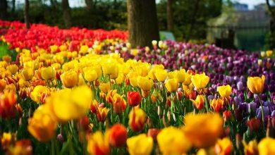 Photo of Messer Tulipano, la spettacolare fioritura raccontata sui canali social