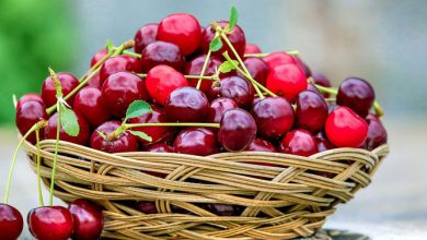 Photo of Ciliegia precoce di Rivarone, un frutto tipico del basso Monferrato