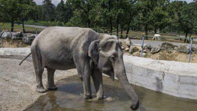 "Photo of Safari Park di Pombia, lo yogurt ""Teddi"" adotta l'elefantessa Maya"
