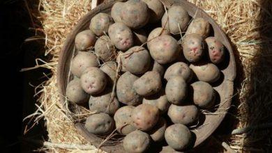 Photo of Le tipiche patate piatline della Valle Grana sono a rischio estinzione