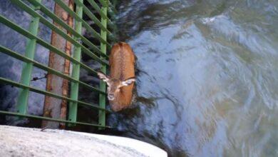 Photo of Exilles, salvato un giovane cervo caduto in un canale