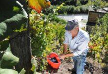 Photo of La viticoltura eroica del Ramìe e un itinerario del gusto in val Germanasca