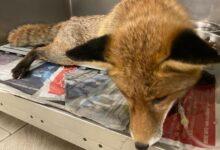Photo of Sparone, salvata una volpe prigioniera in uno stabilimento dismesso