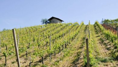 Photo of La nobile viticoltura delle Colline Novaresi tra rocce vulcaniche e detriti glaciali