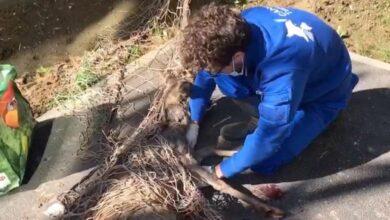 Photo of Torino, un capriolo recuperato e rimesso in libertà dai veterinari del CANC